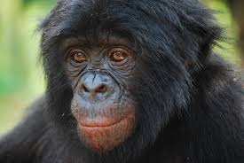 Our close relative, the bonobo.