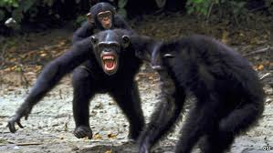 Mean chimps