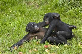 apes mating